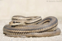 Four-lined snake